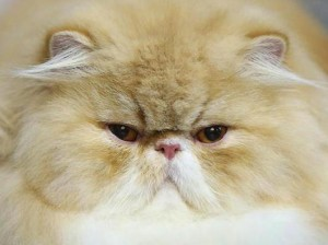 Cat-Brachycephalic-persian-cat-300x224