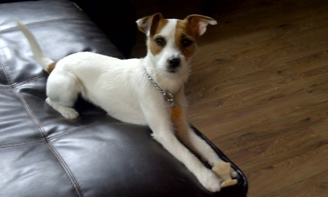 MILEY-Jack-Russel-124-e1384216707320