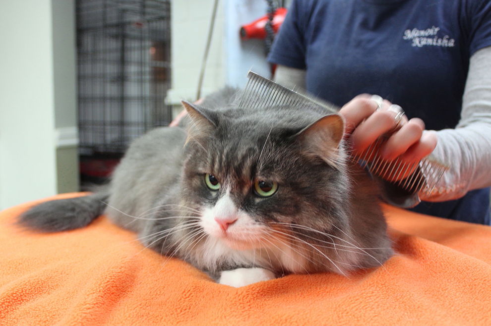 cat-grooming-combing-toilettage-chat-peignage-jessica-manoir-kanisha-209