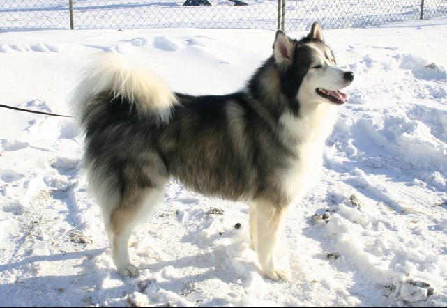 dog-grooming-malamute-toilettage-chien-manoir-kanisha-118-e1424122149206