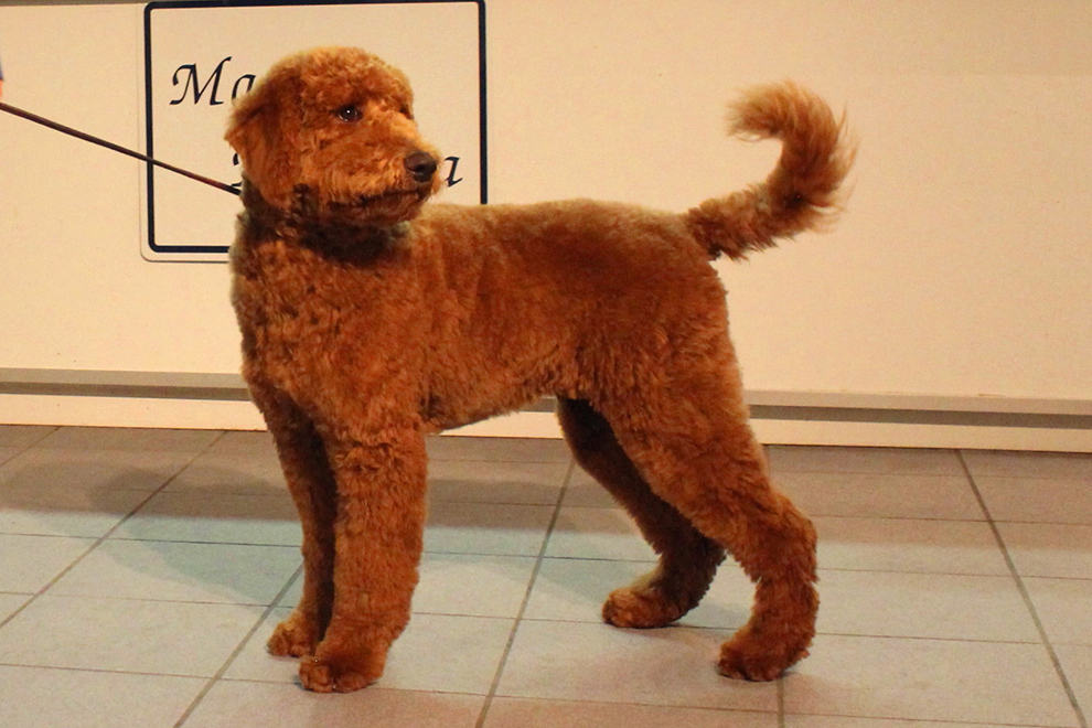 dog-grooming-poodle-toilettage-caniche-rudy-manoir-kanisha-5372