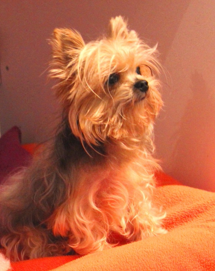 dog-photography-yorky-photographie-tiffany-manoir-kanisha-111