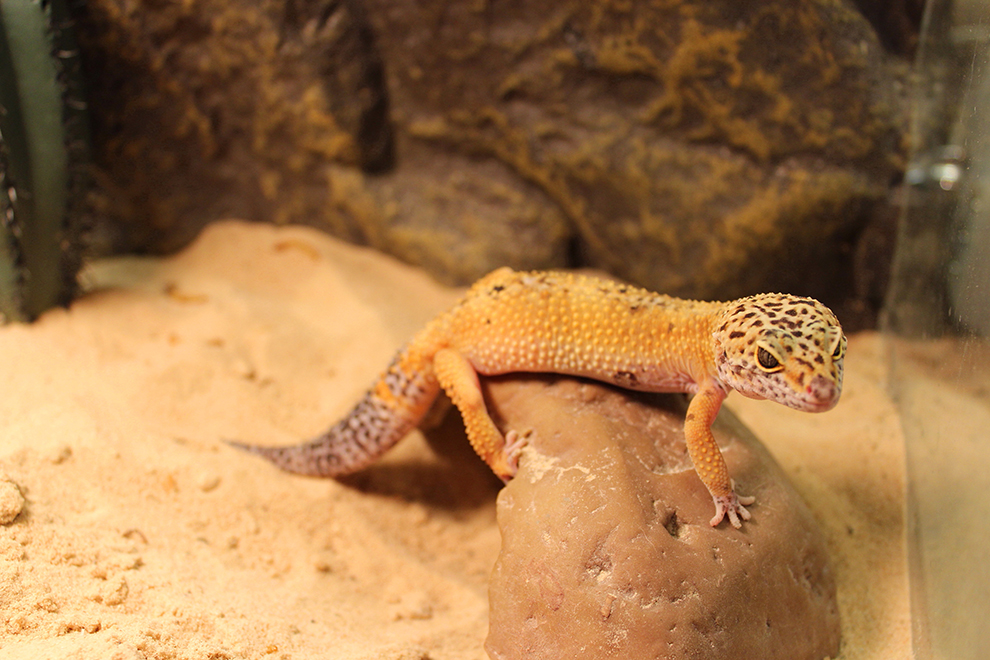gecko-photography-photographie-reptile-harry-manoir-kanisha-605