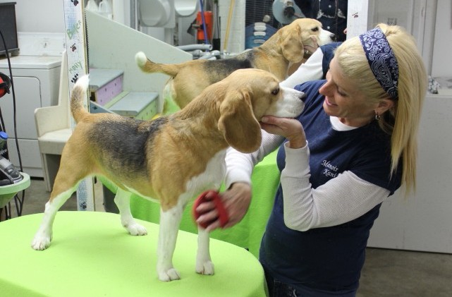 grooming-dog-beagle-toilettage-chien-debbie-manoir-kanisha-73-e1424117075720
