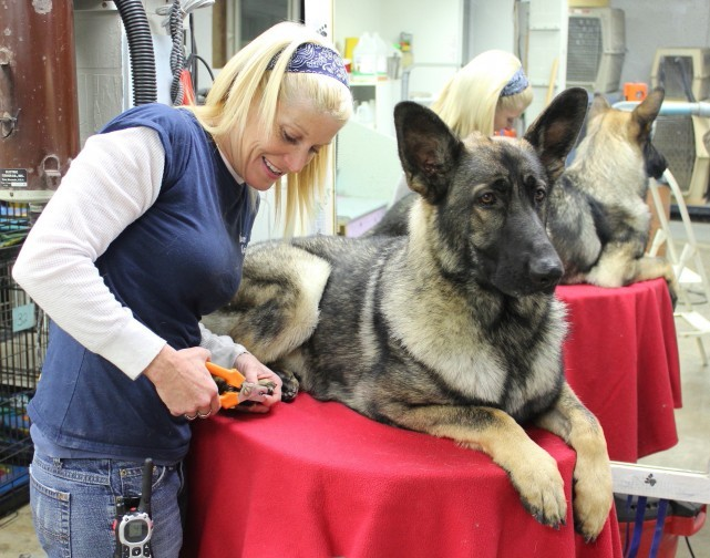 grooming-dog-german-shepherd-toilettage-chien-berger-allemand-debbie-manoir-kanisha-63-e1424118820840