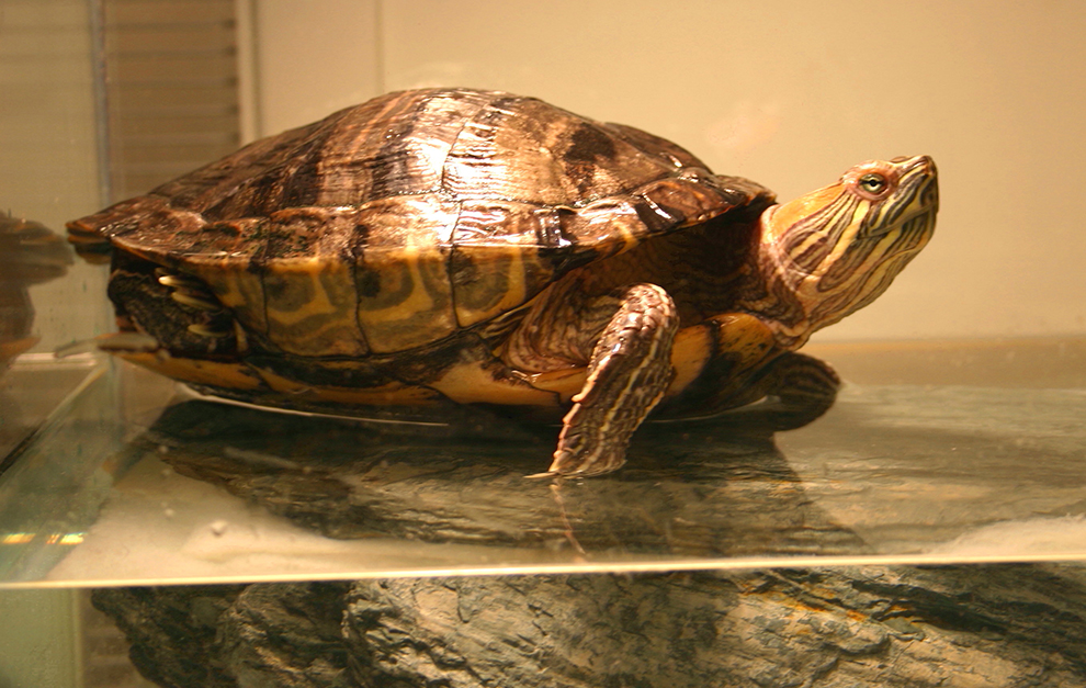 turtle-boarding-pension-tortue-mimi-manoir-kanisha-14