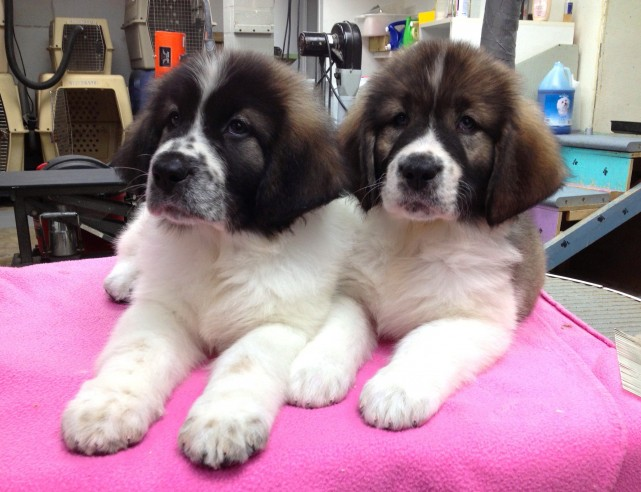 dog-grooming-matin-des-pyrenees-chien-toilettage-manoir-kanisha-2610-e1432495139278