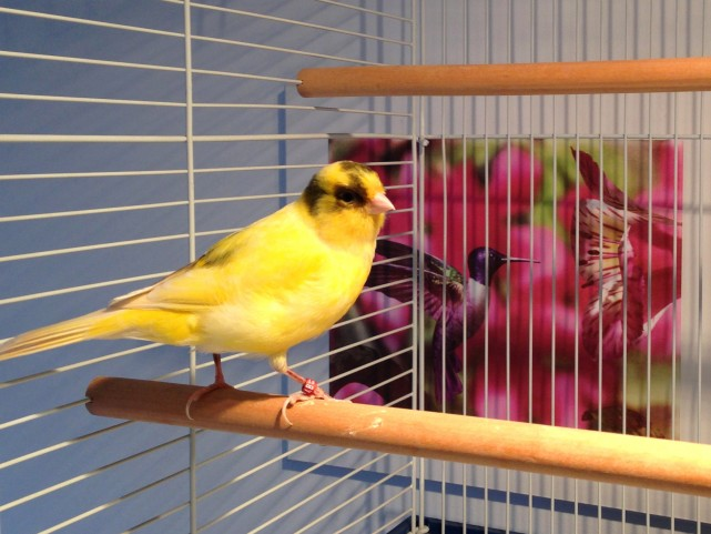 bird-boarding-canary-pension-oiseau-manoir-kanisha-2749AA-e1442704520172