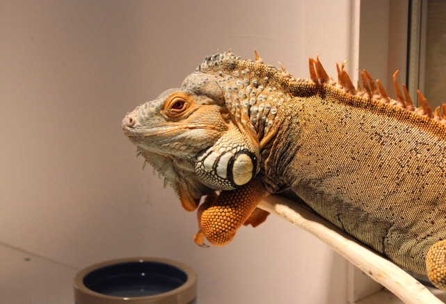 iguana-boarding-greenbean-manoir-kanisha-7442