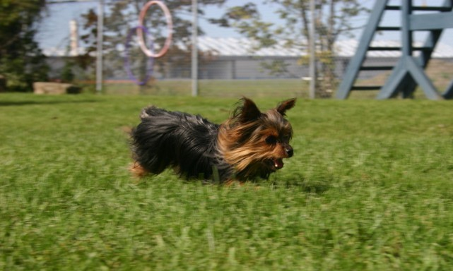 services-chiens-dogs-jeux-playtimes-anais-running-yorkie-e1340075303383