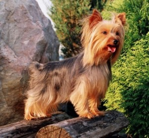 services-chiens-dogs-photography-yorky-juliette-e1340060749435-300x279