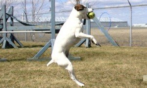 services-chiens-dogs-photography-Jack-Russel-catch-ball-e1339280778735-300x179