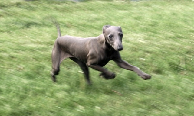 services-chiens-dogs-photography-givenchi-italian-greyhound-e1338405931688