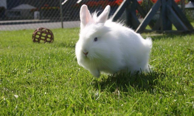 services-autres-animaux-other-pets-lapin-rabbit-puff-saute-e1332458018904