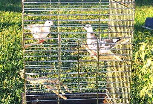 bird-boarding-pension-oiseau-dove-tourterelle-manoir-kanisha-2