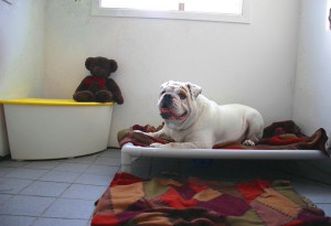 bulldog-boarding-condo-pension-bouledogue-anglais-rocky-manoir-kanisha-01