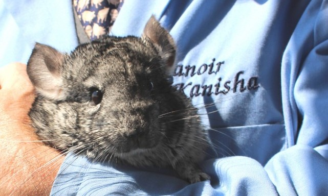 chinchilla-boarding-pension-chile-tim-manoir-kanisha-7352