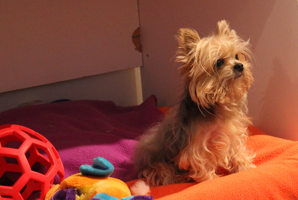 dog-boarding-yorkie-pension-chien-tiffany-manoir-kanisha-5577