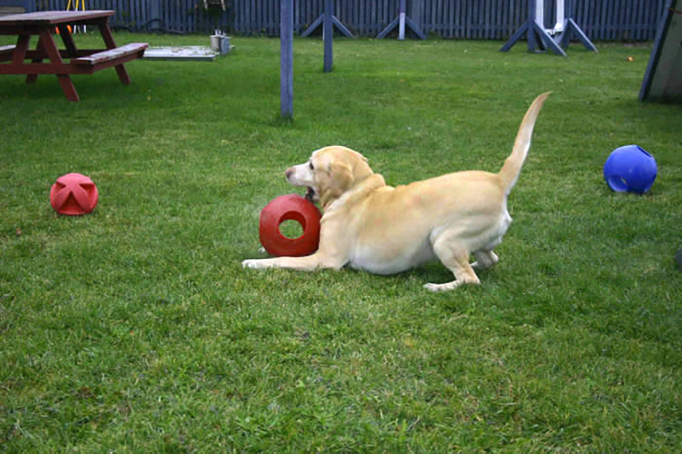 dog-playtime-labrador-jeu-brandy-manoir-kanisha-234