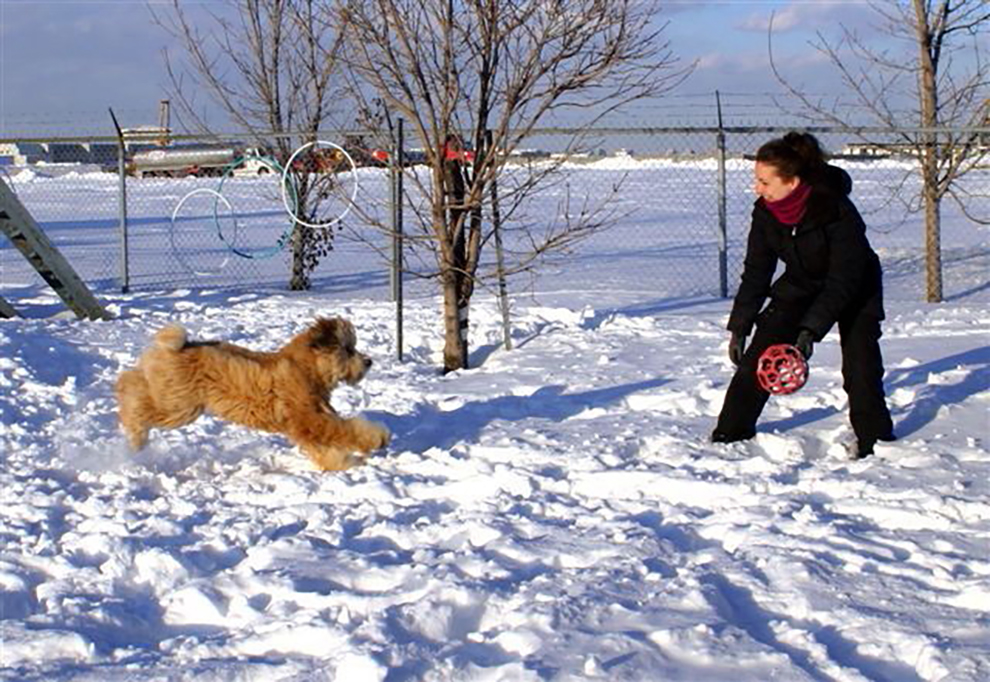 dog-playtime-wheaten-terrier-jeux-chiens-dorothee-manoir-kanisha-71