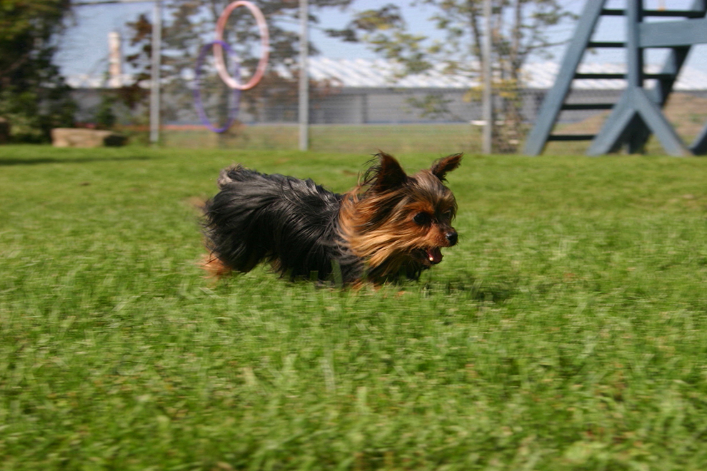 dog-playtime-yorkie-jeu-peanut-manoir-kanisha-841