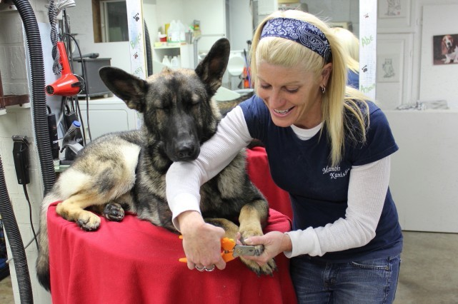 grooming-dog-german-shepherd-toilettage-chien-berger-allemand-debbie-manoir-kanisha-66-e1424118857959