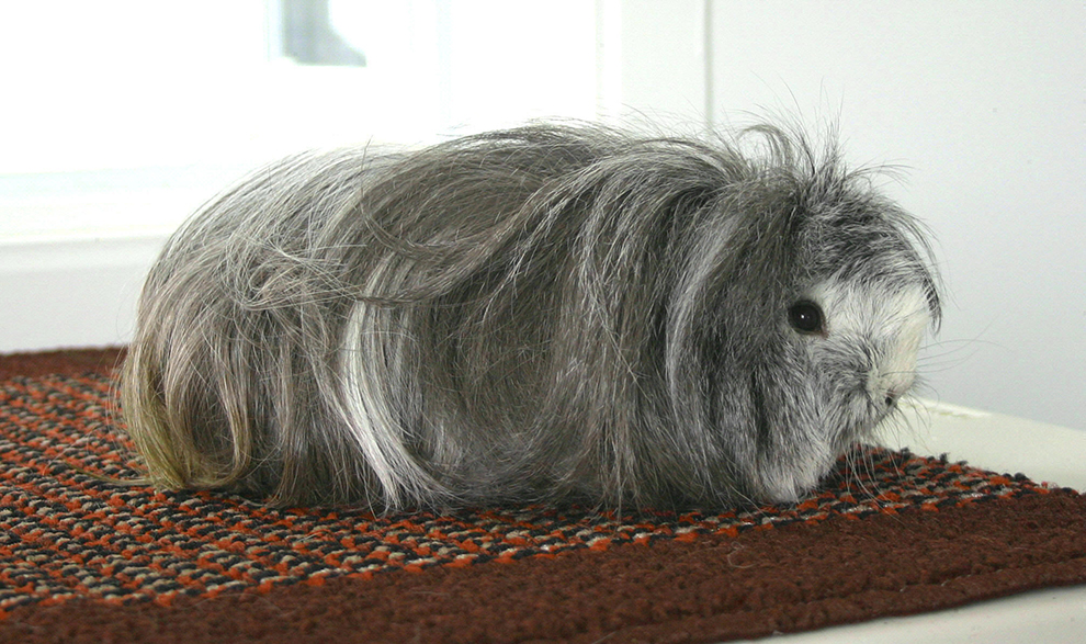rodent-boarding-guinea-pig-pension-rongeur-figgy-manoir-kanisha-111