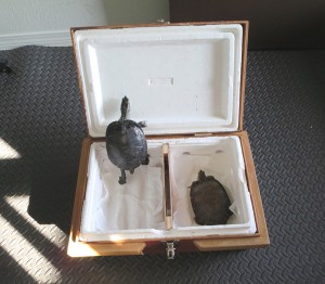 turtle-relocation-travel-crate-cage-tortue-relocalisation-earl-peni-manoir-kanisha-148