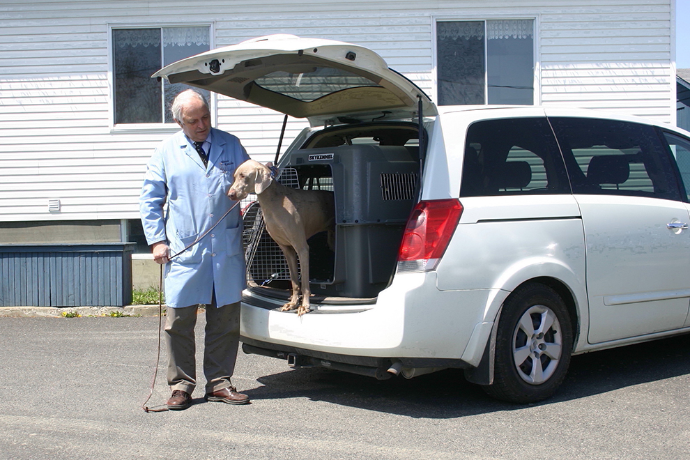 weimaraner-transport-relocalisation-cueilllette-tim-manoir-kanisha-8822