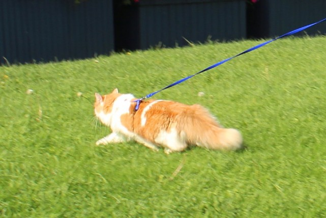 cat-walk-on-leash-mr.fox-janet-manoir-kanisha-5815-e1443018627647