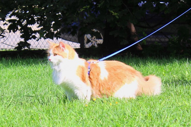 cat-walk-on-leash-mr.fox-janet-manoir-kanisha-5859-e1443018652487