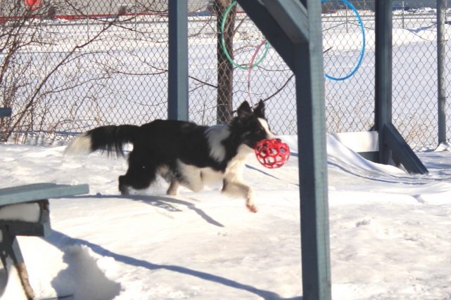 Copy-1-of-dog-playtime-jeux-chien-border-collie-tayzer-manoir-kanisha-133-e1488376035299